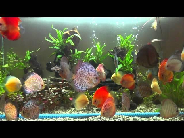 Discus fish varieties
