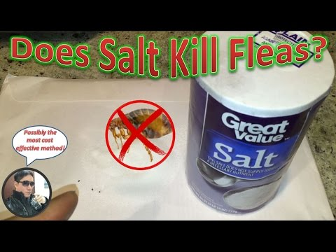 Does Salt Kill Fleas? Mp3