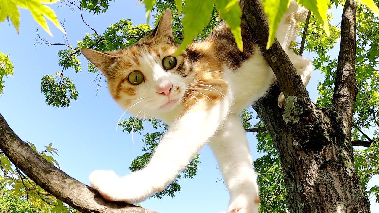 木に登って日光浴をする三毛猫、細い枝の上を器用に歩く