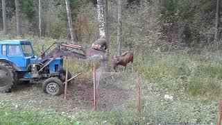 Под Торжком спасли лося, запутавшегося в оградительной сетке