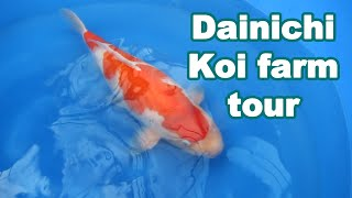 Dainichi Koi Farm Japan tour and beautiful Kohaku