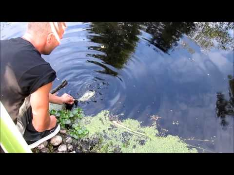 Backyard Pond Black Crappie Fishing