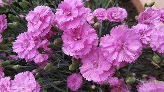 Красивые цветы в саду видео