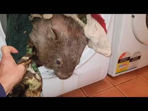 Wombat delaying the chores