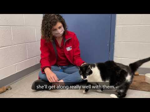 Missy, an adoptable Domestic Short Hair in Alexandria, VA_image-1