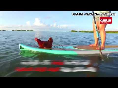 فيديو| لوريتا ..دجاجة تشارك صاحبتها متعة التجديف وقوفا بجزر فلوريدا كيز