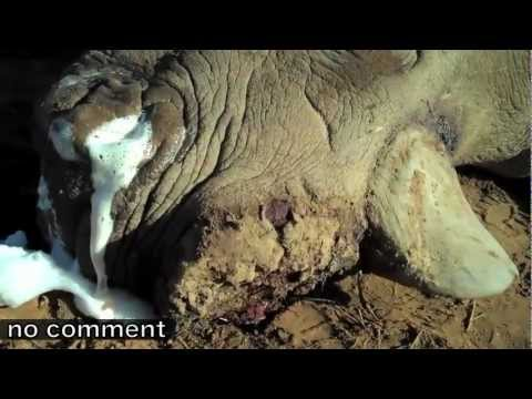 Another slow death for a horn: Brutal rhino poaching in SA