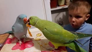 племяш и ожереловые попугаи