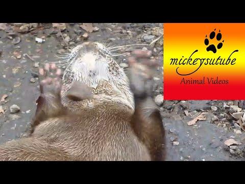 Słodka wydra odkrywa sposób na zabawę kamieniami