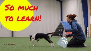Border collie puppy Spam 15 weeks – Training my new agility dog