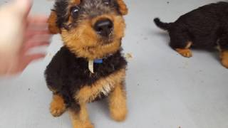 Airedale Terrier Puppies Sale Video - S & S Family Airedales -Curly's Airedale Girl Puppies Plus One
