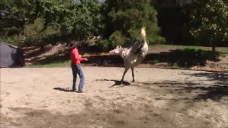 Horse Lunging Problems And How To Solve Them, Mike Hughes,, Auburn California
