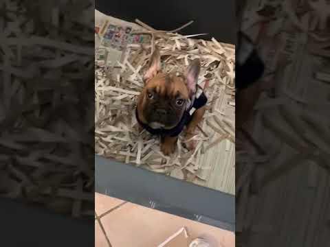 Vendita vendo cucciolo bulldog francese 3 mesi