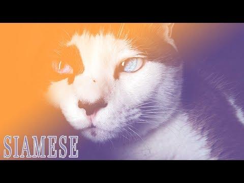 Ideal Companion: Siamese