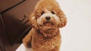 Toy Poodle - Funny Poodles - Poodle Puppy -  Cute Poodle – Poodle Video Compilation #3