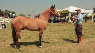 Cavalo Campeiro o Marchador