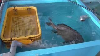 コロダイの腹部に入ったエアーを抜く和歌山釣太郎