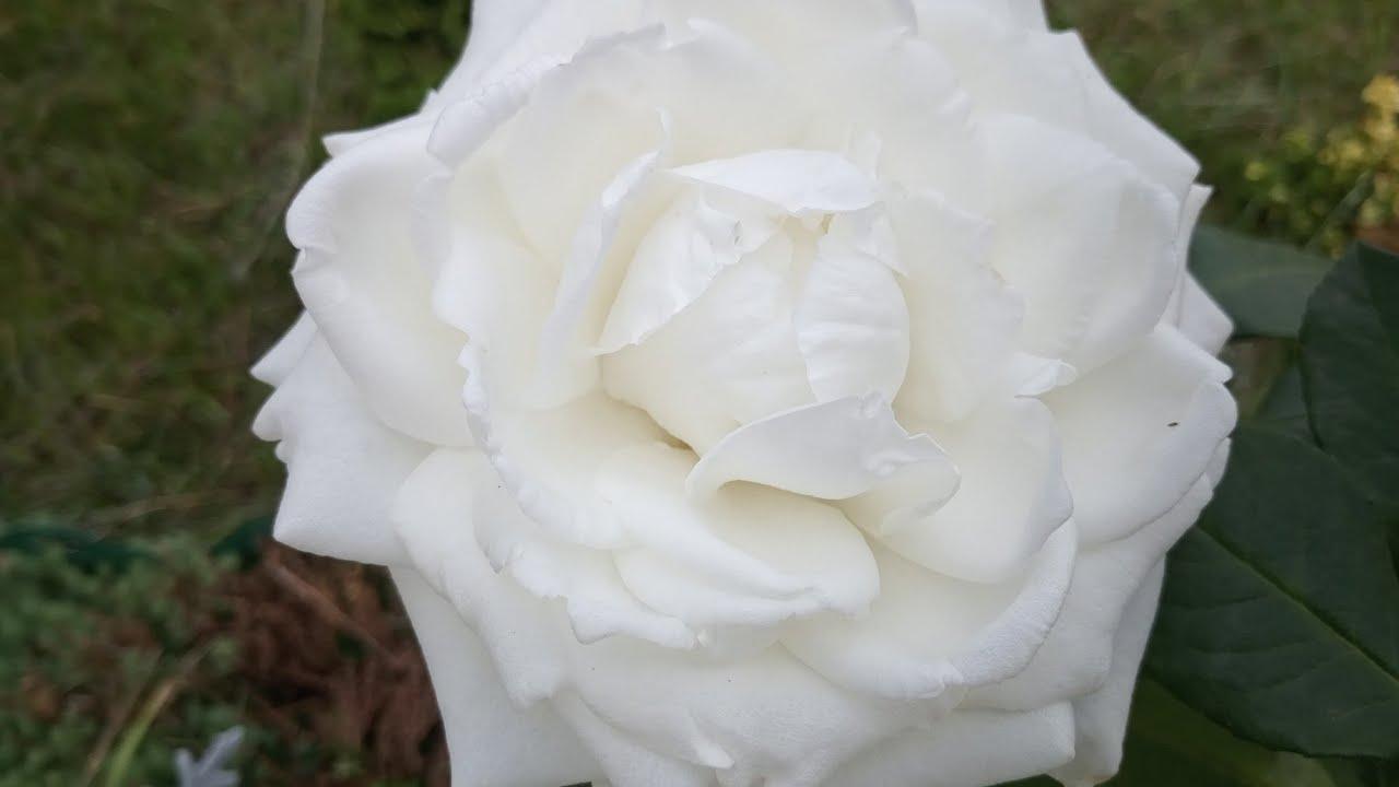 Красивейшая роза в моем саду!!!