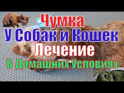 Чумка у Собак и Кошек Лечение в Домашних Условиях Elev8