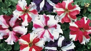 Growing and using Petunias