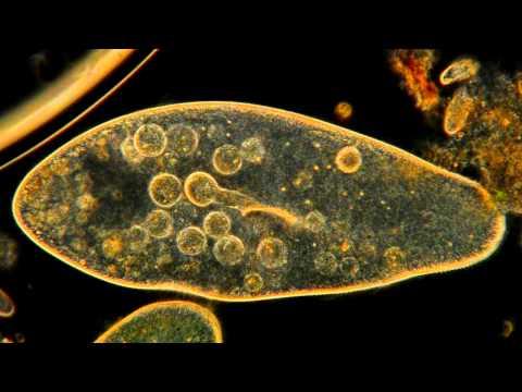 Giardiasis gyengéd kezelés