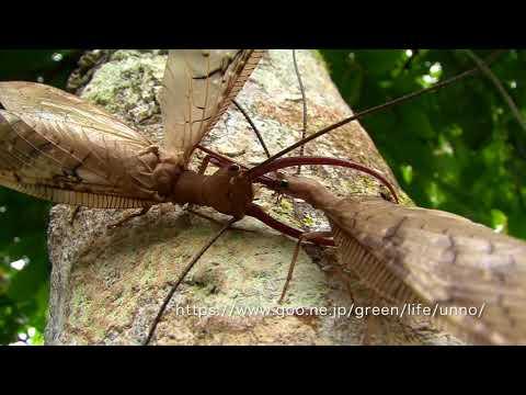 オオアゴヘビトンボの闘い Dobsonfly fight Corydalus sp.
