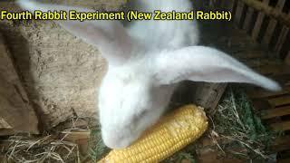 Experiment Feeding 6 Rabbits With Corn