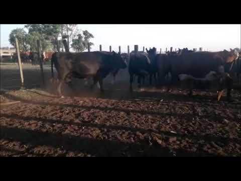 Imagen 42 Vaquillonas Vacas Preñadas en Artigas