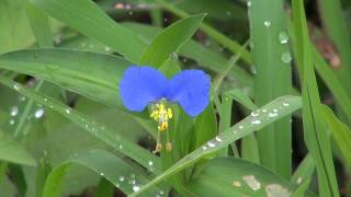 AsiaticDayflower,ツユクサ