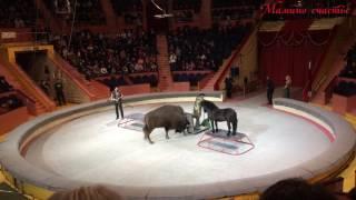 ЦИРК 2 Непослушная лошадь, американские бизоны, пума, дикобразы