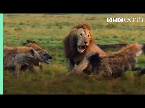 A Lion Attacked by a Pack of Hyenas