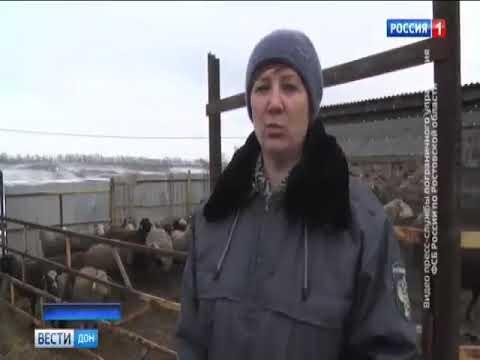 О недопущении ввоза Россельхознадзором партии овец из Украины в количестве 70 голов, следовавших без ветеринарных документов в Ростовскую область