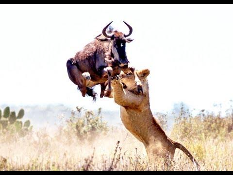Útoky lvů
