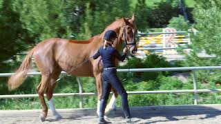 How To Teach Your Horse To Piaffe In Hand