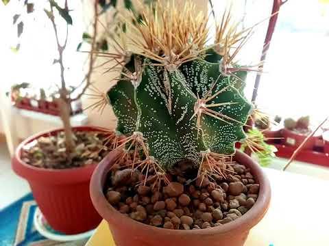 Пересадка кактуса с большими колючками.