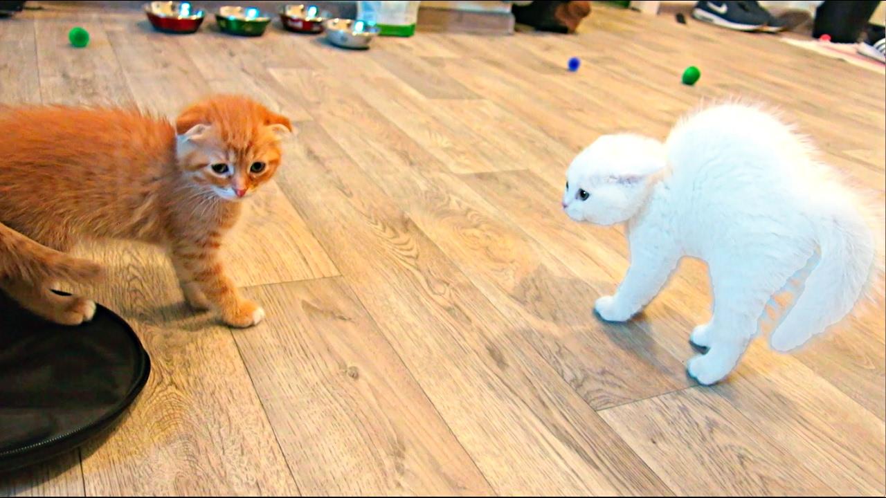 Шотландские вислоухие котята знакомятся фото