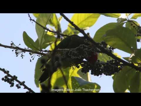 Periquito da Cabeça Vermelha em Guaratuba