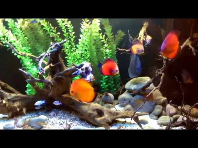 How to care for discus fish
