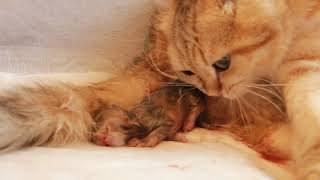 ✔️ How a Golden Cat GIVES BIRTH to kittens? | CLOSE-UP | Newborn Kittens