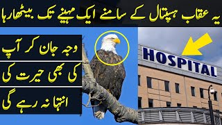 Male Eagle Waited Infront of Hospital for His Female