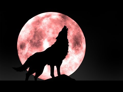 suara binatang serigala | hewan suara untuk anak-anak | Tokek