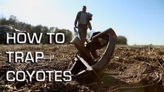 How To Trap Coyotes | Making a Set From Start to Finish