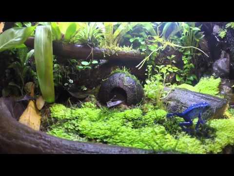 Poison dart frog -- dendrobates azureus