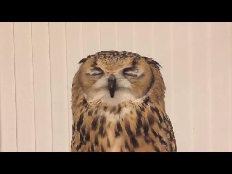 Pöllöä aivastuttaa – Hauskat ilmeet videolle