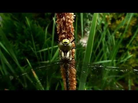 Právě vyklubaná vážka – Šídlo modré