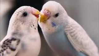 Dişi Muhabbet Kuşu Sesi (Kızıştırıcı Ses)