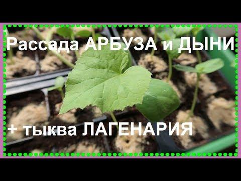 Выращивание арбузов и дынь в Московской области/ РАССАДА АРБУЗОВ и ДЫНИ  (2019)