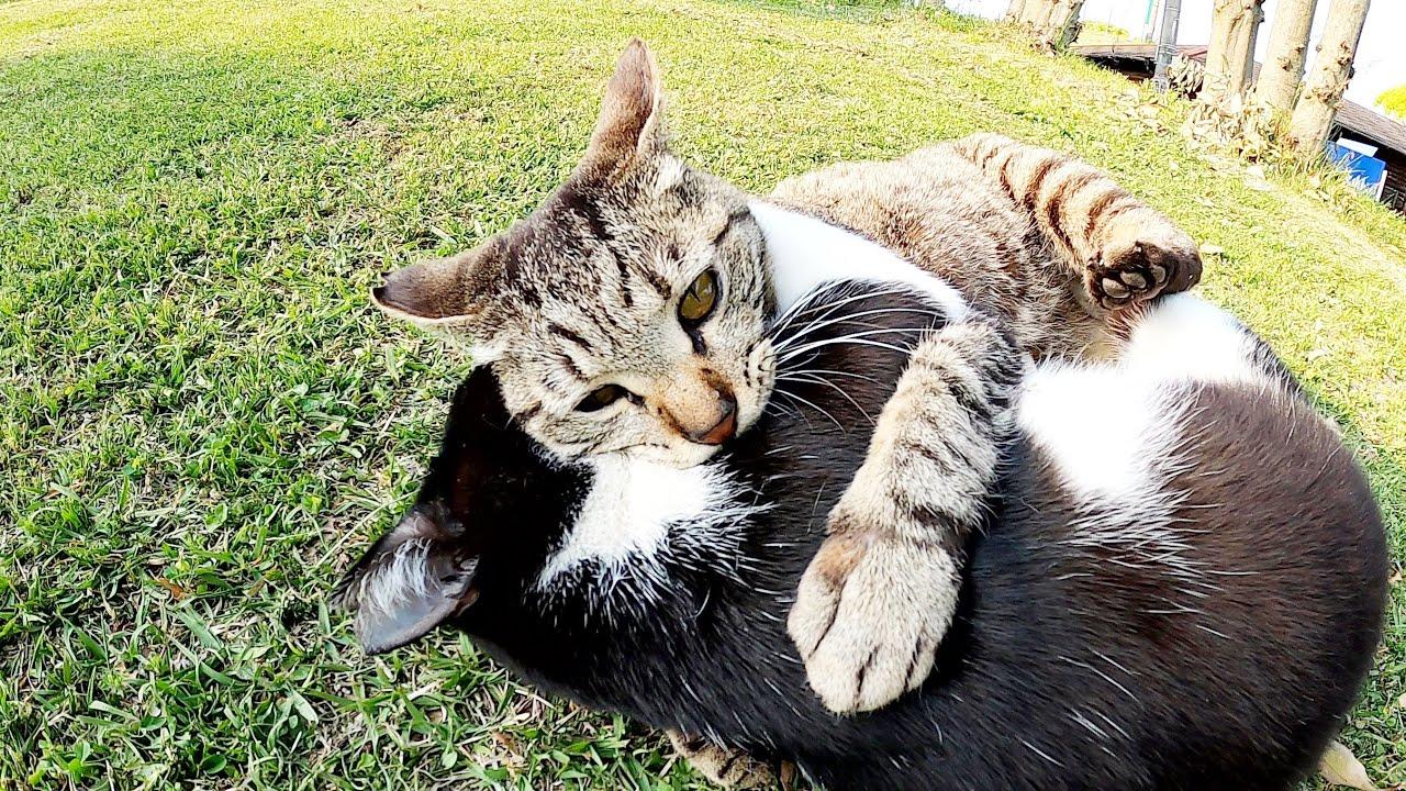 猫のプロレス対決!ハチワレ猫vsキジトラ猫