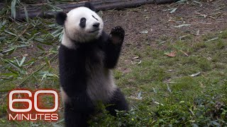 60 Minutes Reports On The Giant Pandas Comeback From Extinction