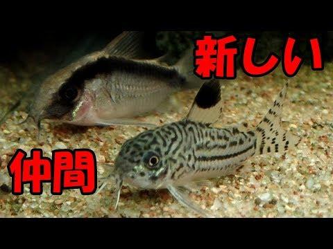 【水槽208】陰性メインのコリ水槽⑩新しい仲間(コリドラス)